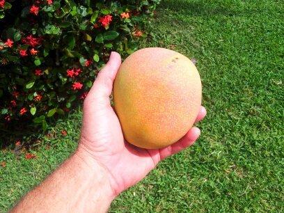 mango-ixora